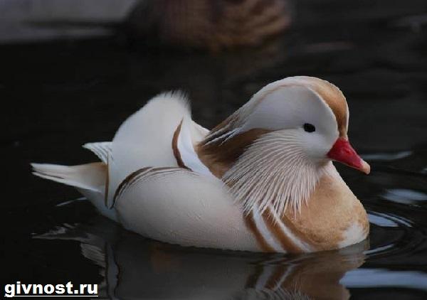 Утка-мандаринка-Образ-жизни-и-среда-обитания-утки-мандаринки-4