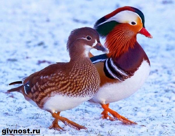 Утка-мандаринка-Образ-жизни-и-среда-обитания-утки-мандаринки-6