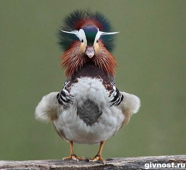 Утка-мандаринка-Образ-жизни-и-среда-обитания-утки-мандаринки-8