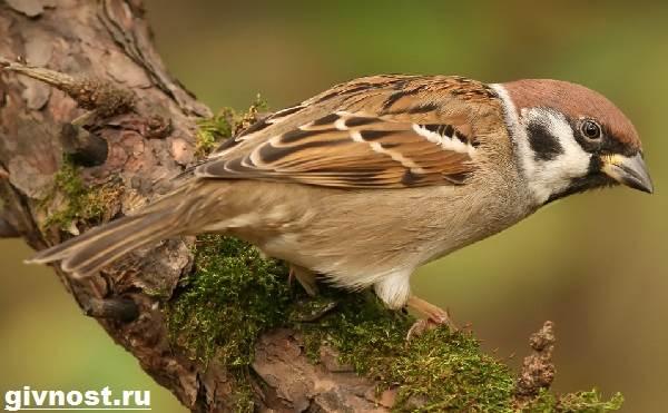 Воробей-птица-Образ-жизни-и-среда-обитания-воробья-1