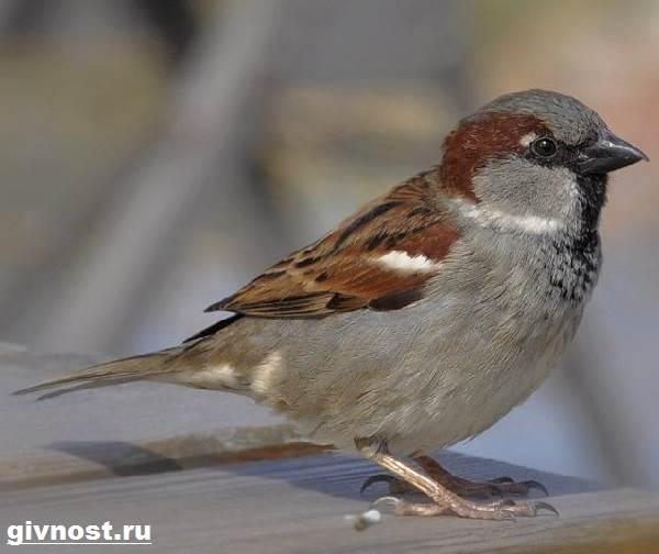 Воробей-птица-Образ-жизни-и-среда-обитания-воробья-6