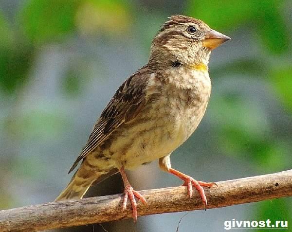 Воробей-птица-Образ-жизни-и-среда-обитания-воробья-8