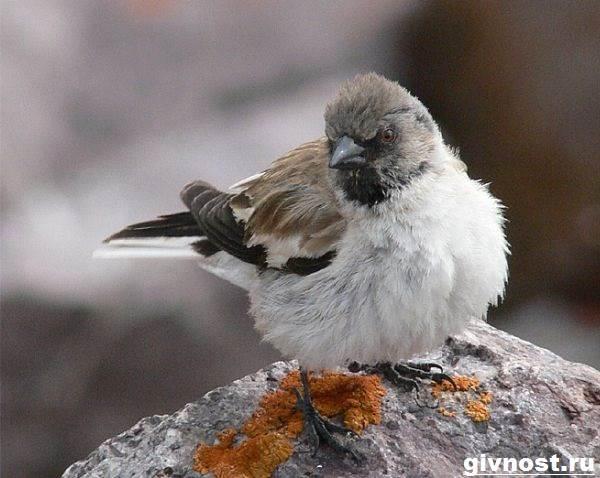 Воробей-птица-Образ-жизни-и-среда-обитания-воробья-9