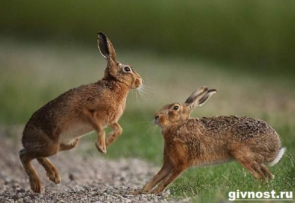 Заяц-русак-Образ-жизни-и-среда-обитания-зайца-русака-1