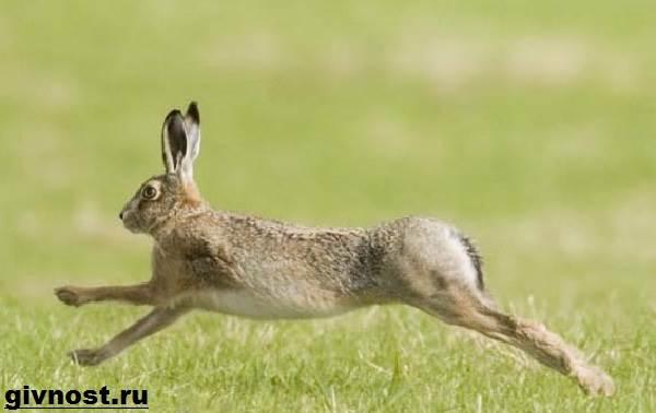 Заяц-русак-Образ-жизни-и-среда-обитания-зайца-русака-3