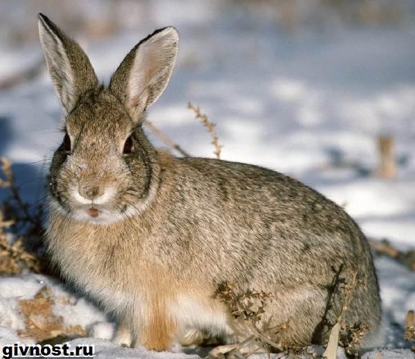 Заяц-русак-Образ-жизни-и-среда-обитания-зайца-русака-5