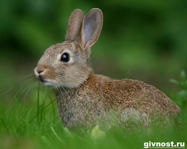 Заяц-русак-Образ-жизни-и-среда-обитания-зайца-русака-6