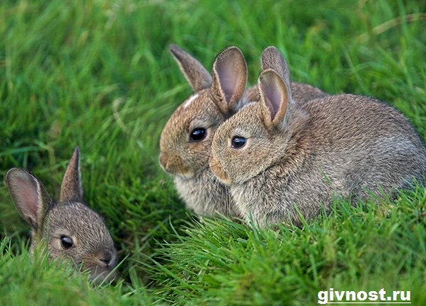 Заяц-русак-Образ-жизни-и-среда-обитания-зайца-русака-9