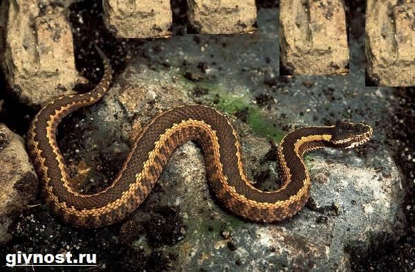 Змеи-Красной-книги-России-12