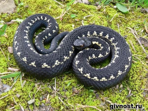 Змеи-Красной-книги-России-13