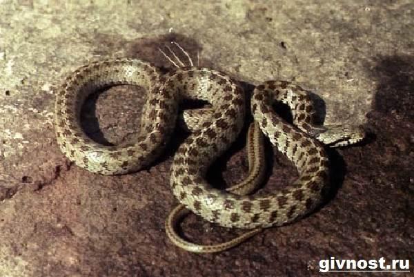 Змеи-Красной-книги-России-5