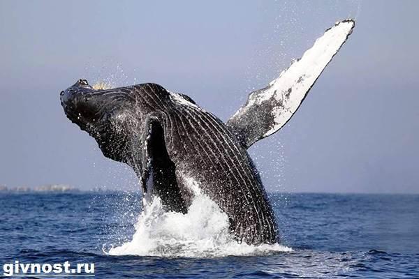 Гренландский-кит-животное-Образ-жизни-и-среда-обитания-гренландского-кита-1