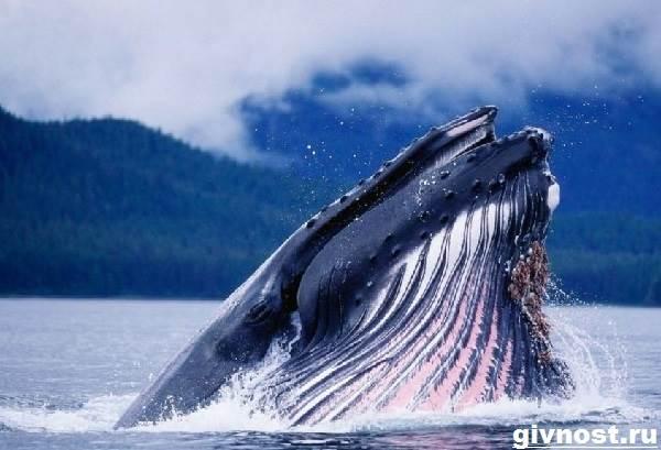 Гренландский-кит-животное-Образ-жизни-и-среда-обитания-гренландского-кита-2