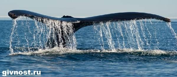 Гренландский-кит-животное-Образ-жизни-и-среда-обитания-гренландского-кита-8