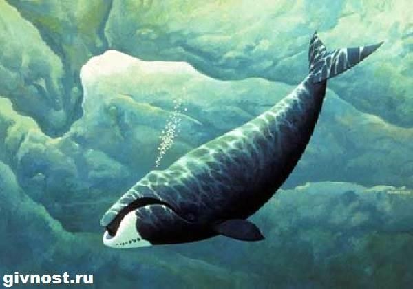 Гренландский-кит-животное-Образ-жизни-и-среда-обитания-гренландского-кита-9