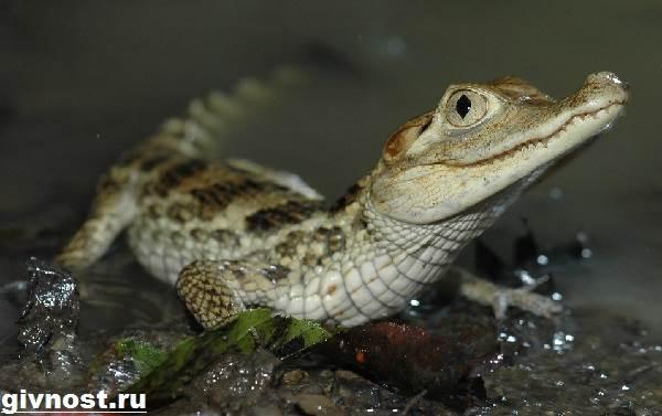 Кайман-крокодил-Образ-жизни-и-среда-обитания-каймана-1
