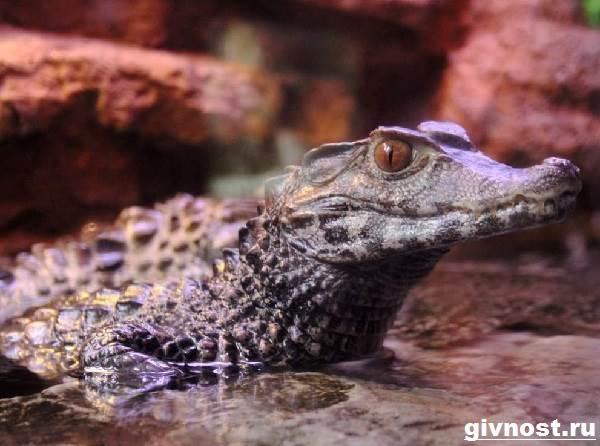 Кайман-крокодил-Образ-жизни-и-среда-обитания-каймана-2