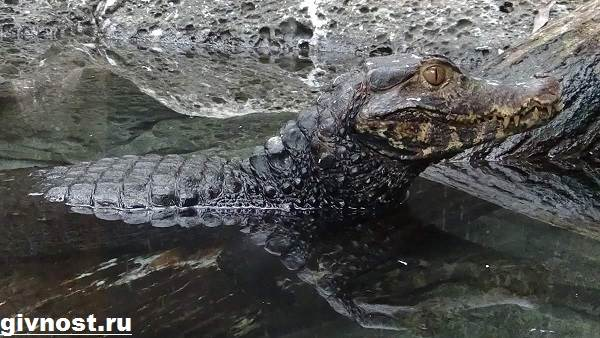 Кайман-крокодил-Образ-жизни-и-среда-обитания-каймана-4