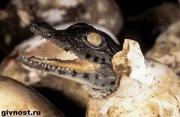 Кайман-крокодил-Образ-жизни-и-среда-обитания-каймана-8