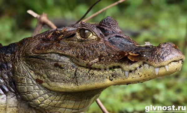 Кайман-крокодил-Образ-жизни-и-среда-обитания-каймана-9