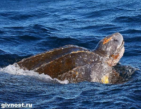 Кожистая-черепаха-Образ-жизни-и-среда-обитания-кожистой-черепахи-6
