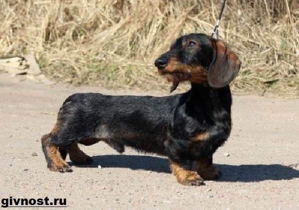 Кроличья-такса-собака-Описание-особенности-уход-и-цена-кроличьей-таксы-3