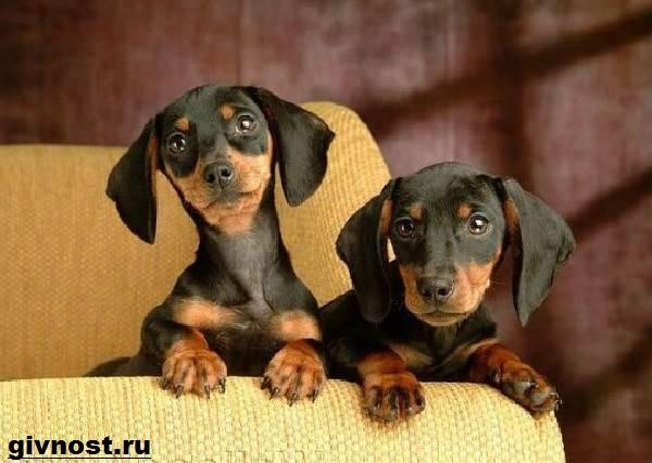 Кроличья-такса-собака-Описание-особенности-уход-и-цена-кроличьей-таксы-7
