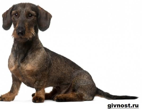 Кроличья-такса-собака-Описание-особенности-уход-и-цена-кроличьей-таксы-9