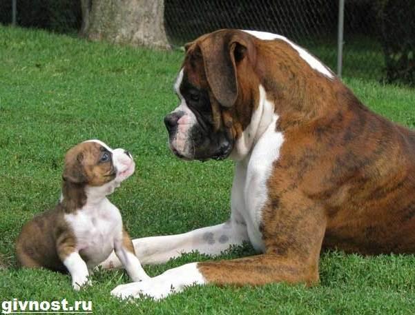 Немецкий-боксер-собака-Описание-особенности-уход-и-цена-немецкого-боксера-10