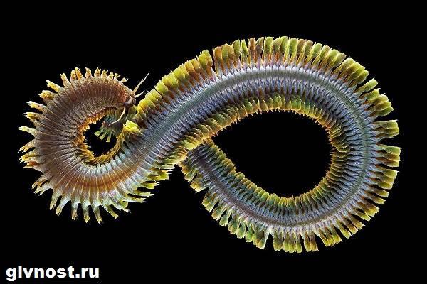 Нереис-червь-Образ-жизни-и-среда-обитания-червя-нереиса-2
