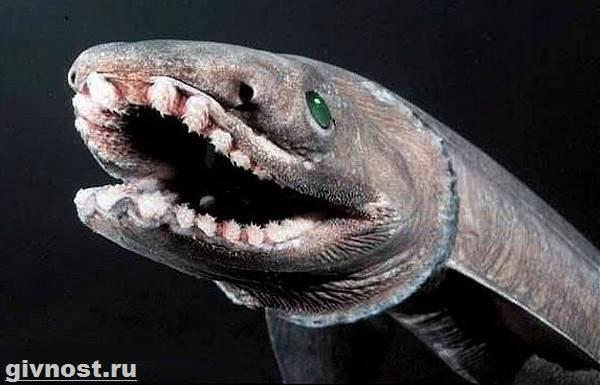 Плащеносная-акула-Среда-обитания-и-образ-жизни-плащеносной-акулы-2