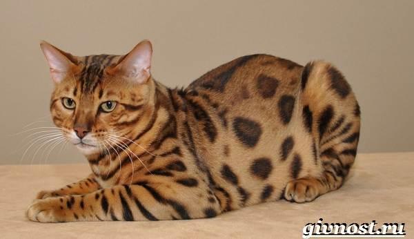 Редкие-породы-кошек-их-описание-и-особенности-13