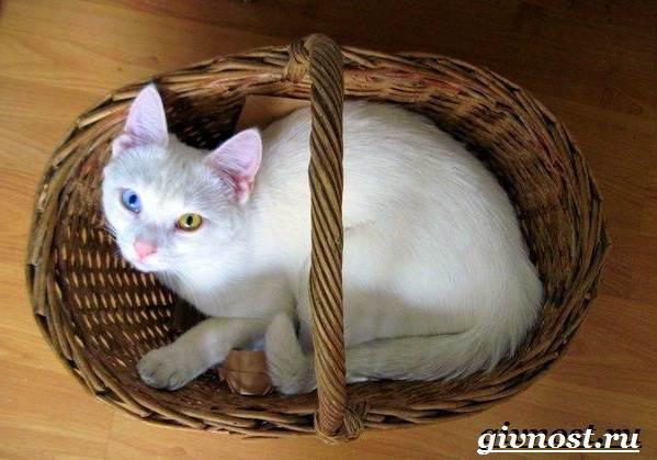Редкие-породы-кошек-их-описание-и-особенности-14