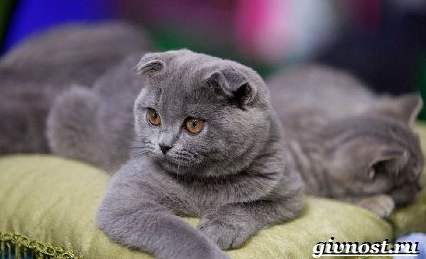 Редкие-породы-кошек-их-описание-и-особенности-7