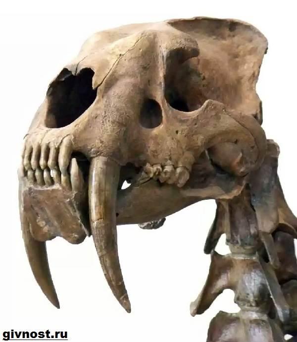Саблезубый-тигр-Описание-особенности-и-среда-обитания-саблезубых-тигров-2