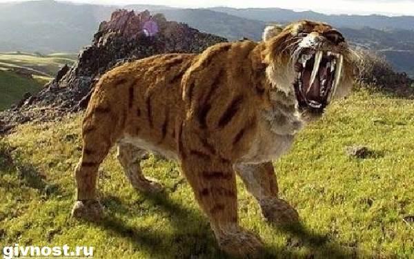 Саблезубый-тигр-Описание-особенности-и-среда-обитания-саблезубых-тигров-5