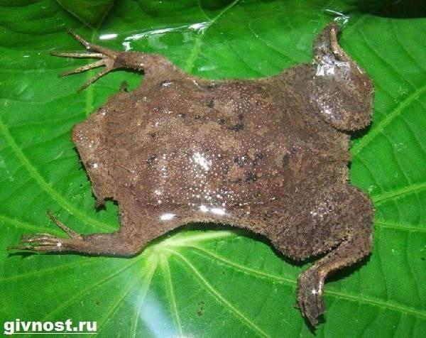 Суринамская-пипа-жаба-Образ-жизни-и-среда-обитания-суринамской-пипы-1