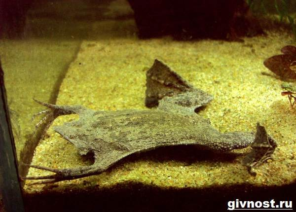 Суринамская-пипа-жаба-Образ-жизни-и-среда-обитания-суринамской-пипы-6