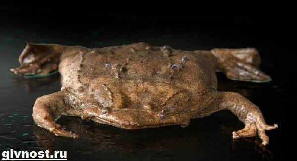 Суринамская-пипа-жаба-Образ-жизни-и-среда-обитания-суринамской-пипы-7