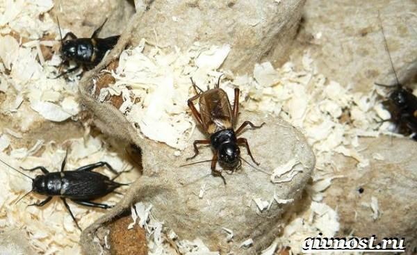 Сверчок-насекомое-Образ-жизни-и-среда-обитания-сверчка-10