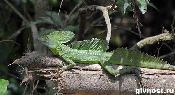 Василиск-ящерица-Образ-жизни-и-среда-обитания-василиска-1