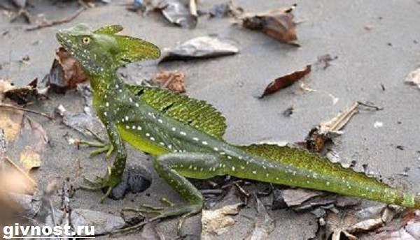 Василиск-ящерица-Образ-жизни-и-среда-обитания-василиска-11