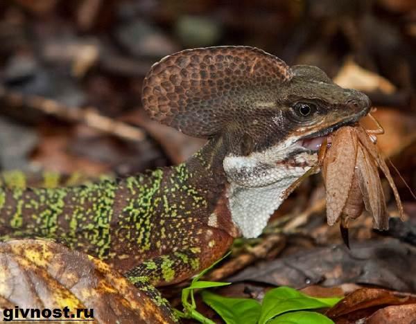 Василиск-ящерица-Образ-жизни-и-среда-обитания-василиска-12