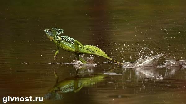 Василиск-ящерица-Образ-жизни-и-среда-обитания-василиска-3