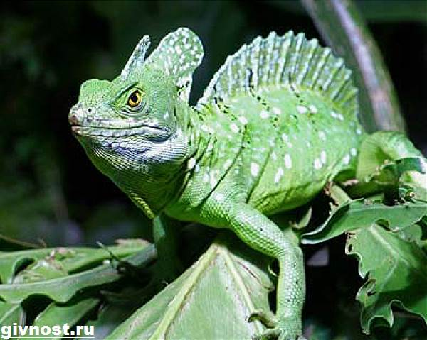 Василиск-ящерица-Образ-жизни-и-среда-обитания-василиска-4