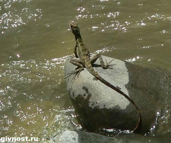 Василиск-ящерица-Образ-жизни-и-среда-обитания-василиска-5