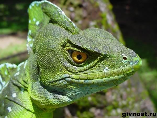 Василиск-ящерица-Образ-жизни-и-среда-обитания-василиска-6