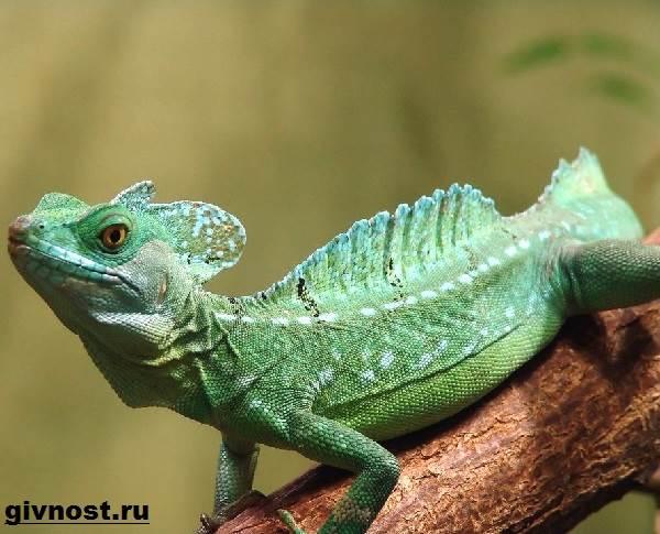 Василиск-ящерица-Образ-жизни-и-среда-обитания-василиска-7