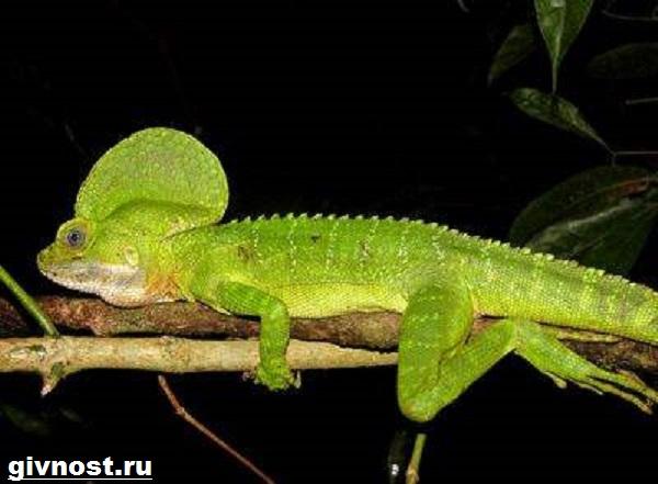 Василиск-ящерица-Образ-жизни-и-среда-обитания-василиска-8