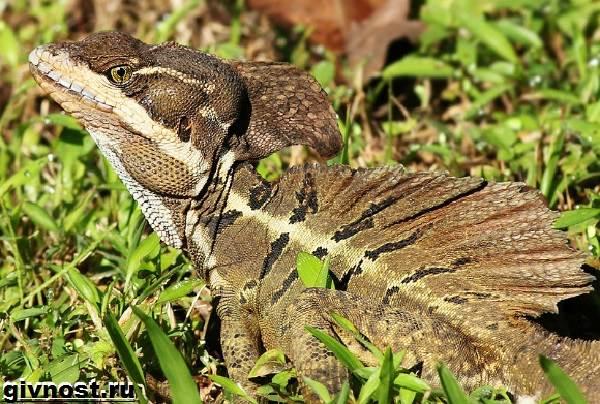 Василиск-ящерица-Образ-жизни-и-среда-обитания-василиска-9